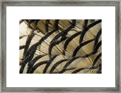 California Quail Breast Feathers Framed Print by William H. Mullins