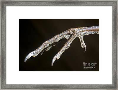 California Quail Foot Framed Print by William H Mullins