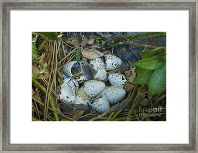 California Quail Nest Post Hatching Framed Print by William H. Mullins