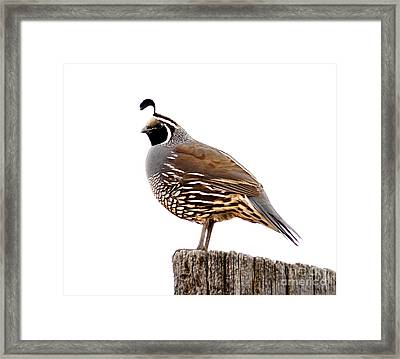 California Quail Framed Print by Robert Bales