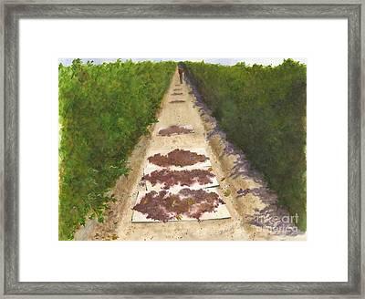 California Raisin Harvest Framed Print by Sheryl Heatherly Hawkins