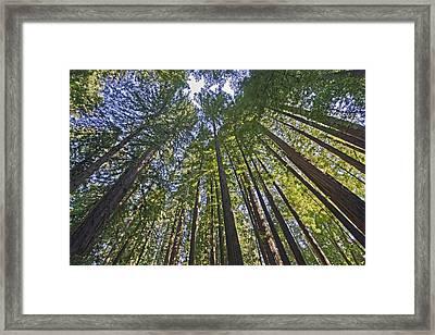 California Redwood Forest Framed Print
