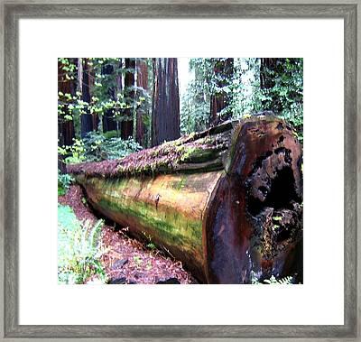 California Redwoods 2 Framed Print by Will Borden