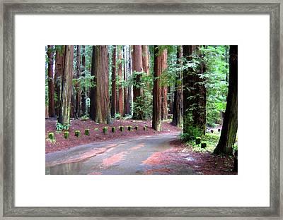 California Redwoods 3 Framed Print by Will Borden