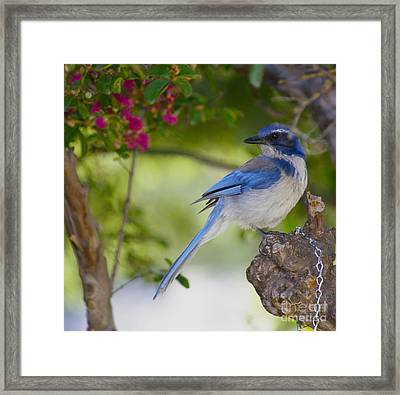 California  Scrub Jay Framed Print by Debby Pueschel