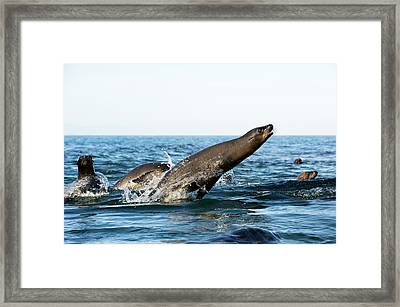 California Sea Lion Breaching Framed Print by Christopher Swann