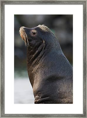 California Sea Lion Framed Print by Ken Archer
