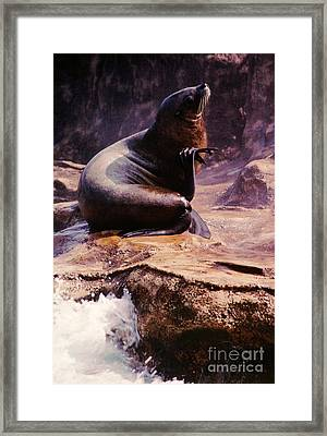 California Sea Lion Raising A Flipper Framed Print by Anna Lisa Yoder