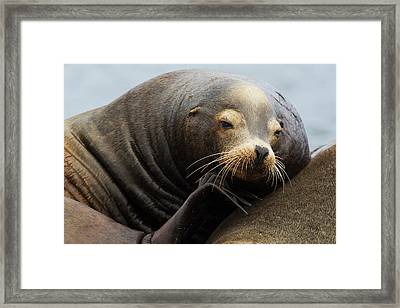 California Sea Lion Resting Framed Print by Ken Archer