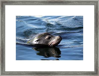 California Sea Lion  Framed Print