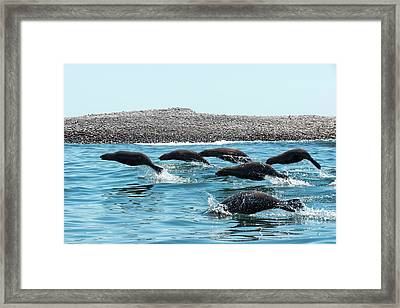 California Sea Lions Leaping Framed Print by Christopher Swann