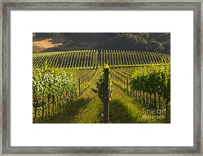 California Wine Grape Vineyard Framed Print