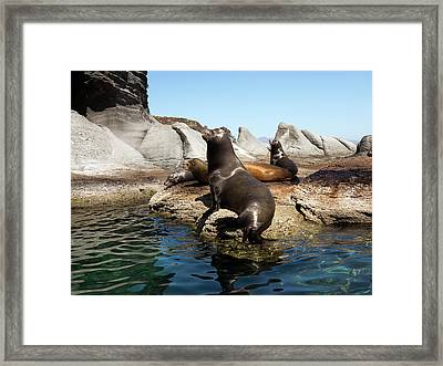 Californian Sea Lions Framed Print by Daniel Sambraus