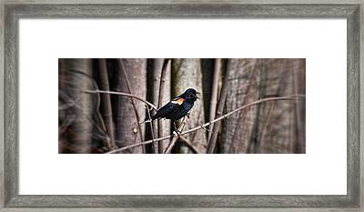 Call Of The Red Winged Blackbird Framed Print