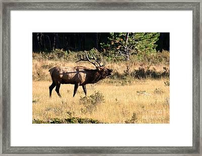 Call Of The Wild Elk Framed Print