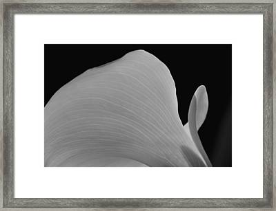 Calla Lilly 11 Framed Print by Ron White