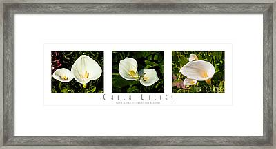 Calla Lilly Color Triptych Framed Print