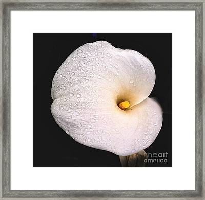 Calla Lilly Framed Print by Ron Roberts