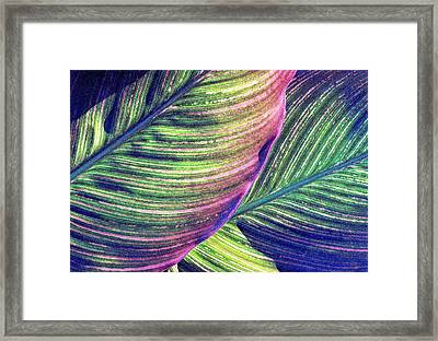 Calla Lily 1 Framed Print