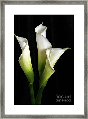 Calla Lily Flower Trio  Framed Print by Linda Matlow
