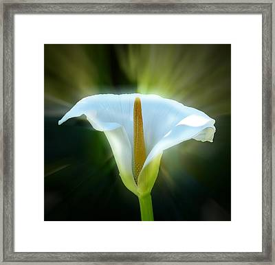 Calla Lily Framed Print by Frank Bright