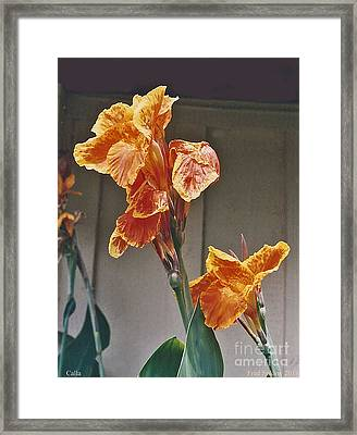 Calla Lily Framed Print by Fred Jinkins