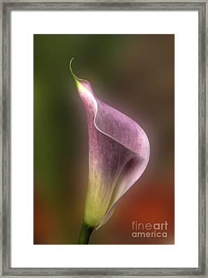 Calla Lily In Profile Framed Print