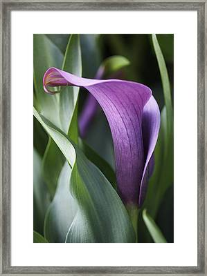 Calla Lily In Purple Ombre Framed Print by Rona Black