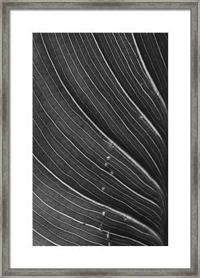 Calla Lily Leaf Framed Print by Morgan Wright