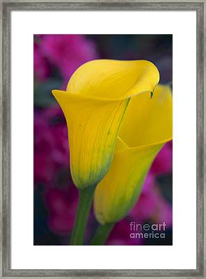 Calla Lily - Yellow Framed Print by Vinnie Oakes