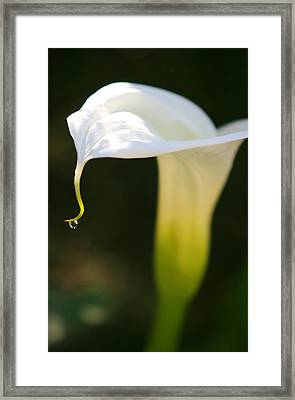 Calle Lily Framed Print