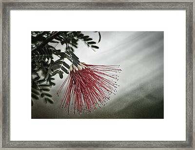 Calliandra Californica Framed Print