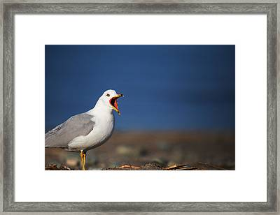 Calling All Gulls Framed Print