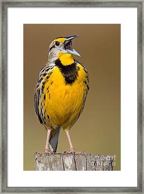 Calling Eastern Meadowlark Framed Print by Jerry Fornarotto
