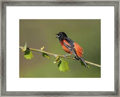 Calling Orchard Oriole Framed Print by Daniel Behm