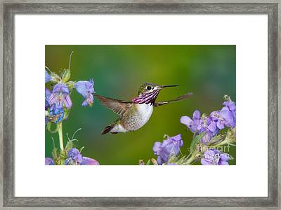Calliope Hummingbird Framed Print by Anthony Mercieca