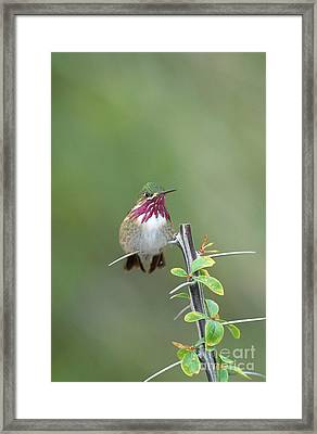 Calliope Hummingbird Stellula Calliope Framed Print by Art Wolfe