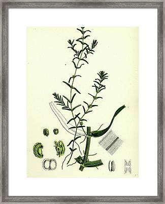 Callitriche Autumnalis Autumnal Water Starwort Framed Print