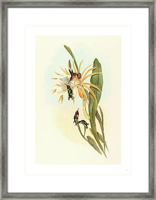 Calothorax Heliodori Framed Print