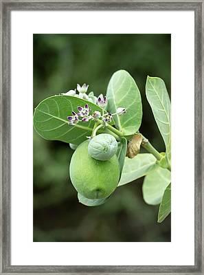 Calotropis Procera Plant With Fruit Framed Print