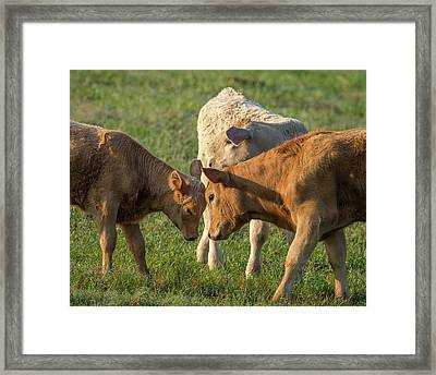 Calves Playing Around, Sumter County Framed Print by Maresa Pryor