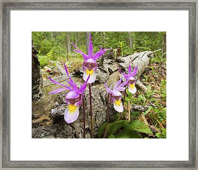 Calypso Orchid Framed Print