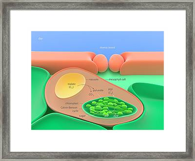 Cam Daytime Photosynthesis Framed Print by Science Photo Library