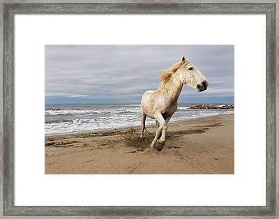 Camargue Horse Running Along Beach Framed Print by Adam Jones