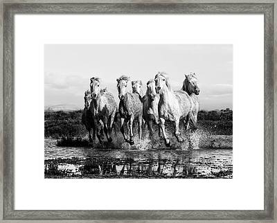 Camargue Horses At The Gallop Bw Framed Print