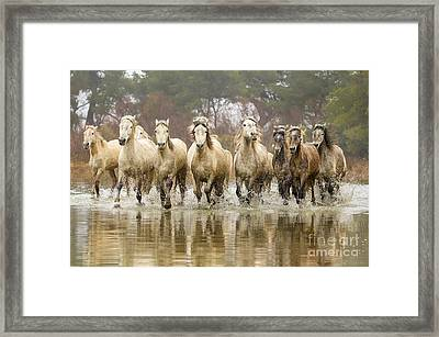 Camargue Horses At The Gallop Framed Print