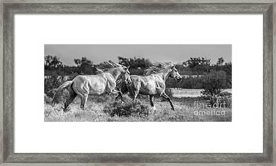 Camargue Stallions Framed Print by Heather Swan