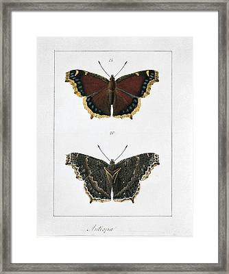 Camberwell Beauty Butterfly, Artwork Framed Print by Science Photo Library
