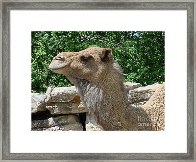 Camel Framed Print by Gary Gingrich Galleries