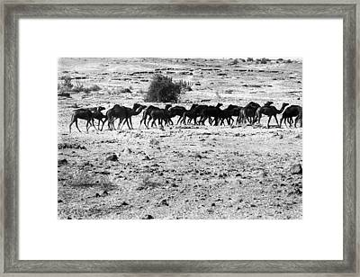 Camel Herd Framed Print by Jagdish Agarwal
